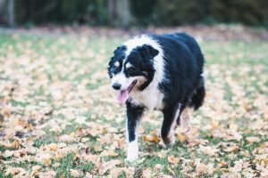 Olly the collie | carlawatkinsphotography.com